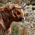 Highland Coo With Tongue In Nose by John Farnan