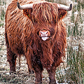 Highland Coo With Tongue Out by John Farnan