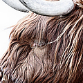 Highland Cow Color Poster by John Farnan