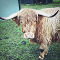 Highland Cow by Les Cunliffe