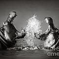 Hippo's Fighting by Johan Swanepoel