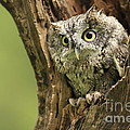 Hollow Screech- Eastern Screech Owl by Inspired Nature Photography Fine Art Photography