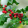 Holly Berries by Sharon Talson
