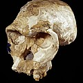 Homo Habilis Cranium (oh 24) by Science Photo Library