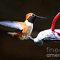 Humming birds War
