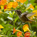 Hummingbird Looking For Food by Heiko Koehrer-Wagner