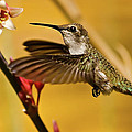 Hummingbird by Robert Bales