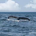 Humpback Whale Fin by Juli Scalzi