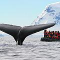 Humpback Whale Fluke  by Tony Beck