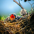 Hungry Tree Swallow Fledgling In Nest by Bob Orsillo