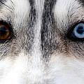 Husky Eyes by Keith Allen