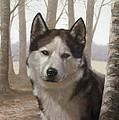 Husky In The Woods by John Silver