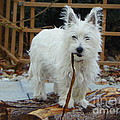 I Didn't Do It There's No Proof - West Highland White Terrier by J J