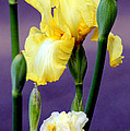 I Only Have Iris For You by Kathy  White