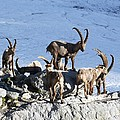 Ibex By A Glacier by Science Photo Library