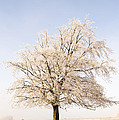 Iced Tree by Anne Gilbert