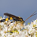 Ichneumon wasp feeding on flowers Print by Science Photo Library