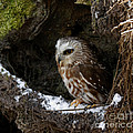In Hiding Saw Whet Owl In A Hollow Stump Is Part Of The Birds Of Prey Fine Art Raptor Wildlife Photo by Inspired Nature Photography Fine Art Photography
