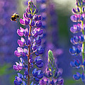 In The Land Of Lupine by Mary Amerman