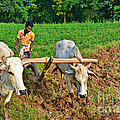 Indian Farmer Plowing With Bulls by Image World