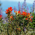 Indian Paintbrush by Robert Bales