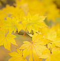 Intensely Yellow by Anne Gilbert