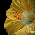Invitation To Beauty Hibiscus Flower  by Inspired Nature Photography Fine Art Photography