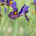 Iris Hollandica 'eye Of The Tiger' by Tim Gainey