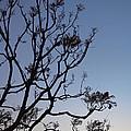 Jacaranda Sunset by Rona Black