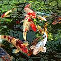 Japanese Koi Fish Pond by Jennie Marie Schell