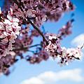 Japanese Sakura Print by Anthony Citro