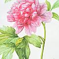 Japanese Tree Peony by Pierre Joseph Redoute