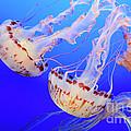 Jellyfish 9 by Bob Christopher