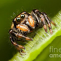 Jumping Spider Phidippus Clarus I by Clarence Holmes