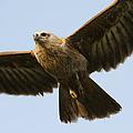 Juvenile Brahminy Kite by Tim Gainey