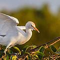 Juvenile Cattle Egret by Andres Leon