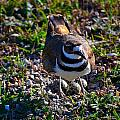 Killdeer and Eggs