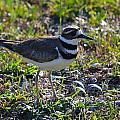 Killdeer Sideview