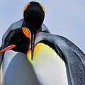 King Penguins Bonding by Tony Beck