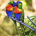 Kissing Rainbow Lorikeets 8 by Heng Tan