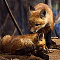 Kit Foxes by Thomas Young