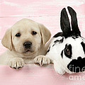 Lab Puppy And Bunny Print by John Daniels