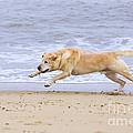 Labrador Dog Chasing Ball On Beach by Geoff du Feu