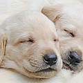 Labrador Retriever Puppies Sleeping  by Jennie Marie Schell