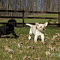 Labrador Retriever Pups by Linda Freshwaters Arndt