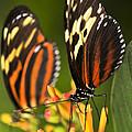 Large Tiger Butterflies by Elena Elisseeva