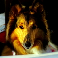 Lassie Come Home Print by KAREN WILES