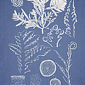 Laurencia Concinna and Hypnea Musciformis Print by Aged Pixel