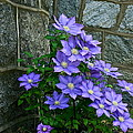 Lavender Clematis at...