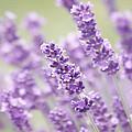 Lavender Dreams by Kim Hojnacki
